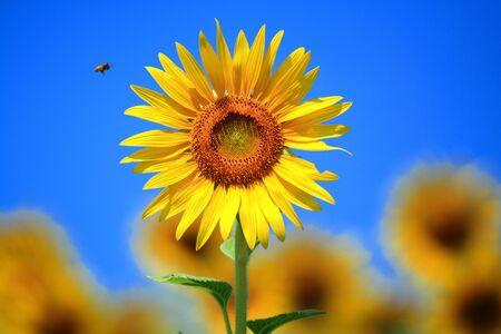 sunflower Stock Photo - 7611142
