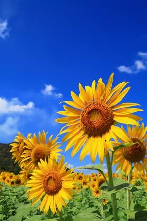 zonnebloem: zonne bloem