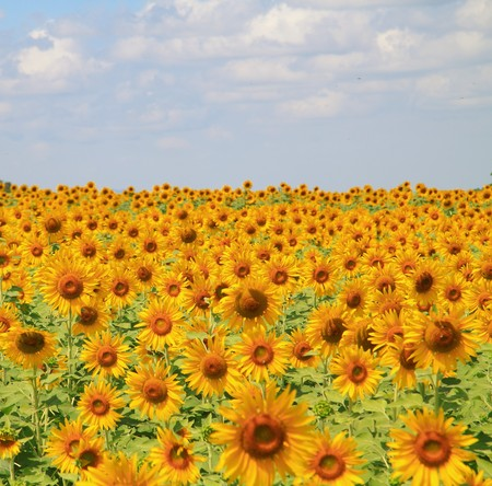 yellow sunflower field with fluffy clouds