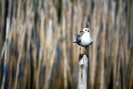 seagull on bamboo photo