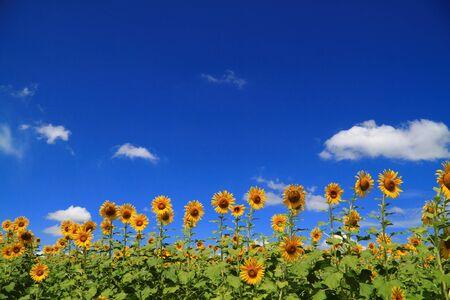 yellow sunflower field with deep blue sky Stock Photo - 8133005