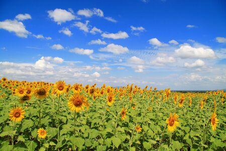 ัyellow sunflower field with deep blue sky Stock Photo - 8133009