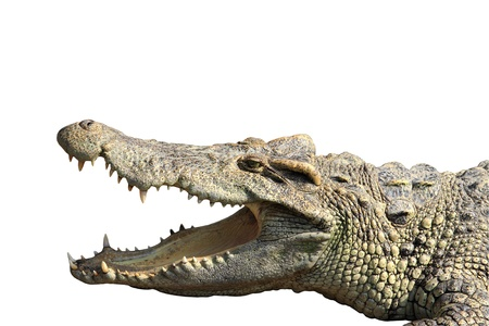 carnivores: crocodile isolated for use..