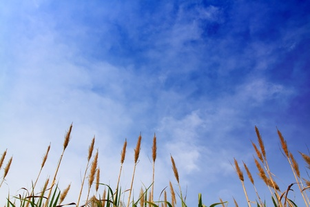 sugar cane with blue sky Stock Photo - 8664213