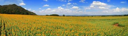 Panorama Sunflower Field Stock Photo - 8719385
