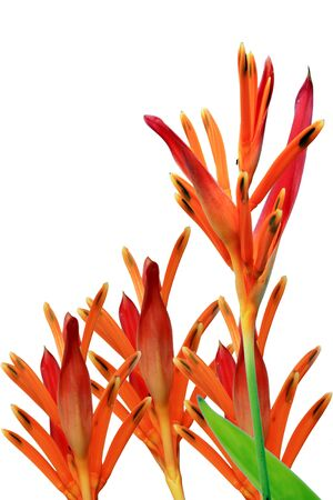 Tropical Heliconia on white background Stock Photo