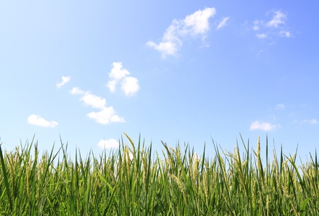 green rice field and blue sky  photo
