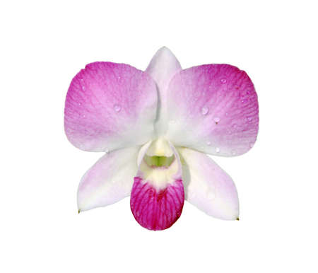 pink orchid isolated Stock Photo - 8941505