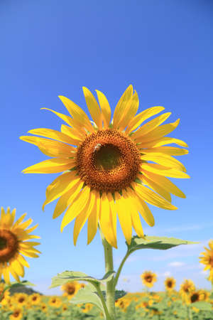 Beautiful sunflower field Stock Photo - 9112683