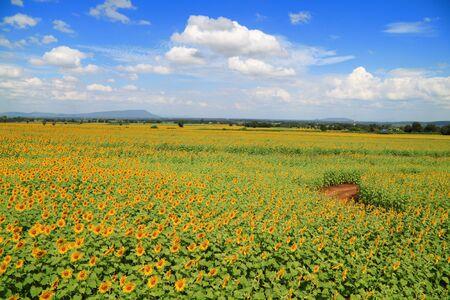 Beautiful sunflower field Stock Photo - 9112811