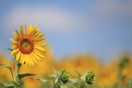 sunflower  Stock Photo - 9179818