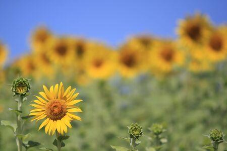 Beautiful sunflower field  Stock Photo - 9179819