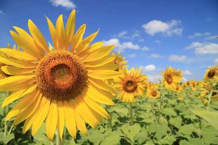 a sunflower: Beautiful sunflower field  Stock Photo