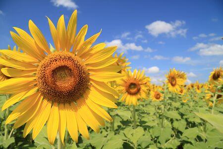 zonnebloem: Mooie zonnebloem veld  Stockfoto