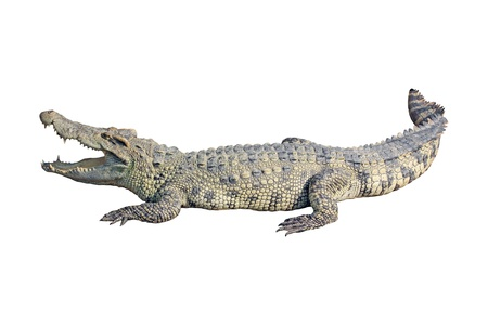 reptiles: crocodile on white background  Stock Photo