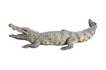 krokodil op witte achtergrond  Stockfoto