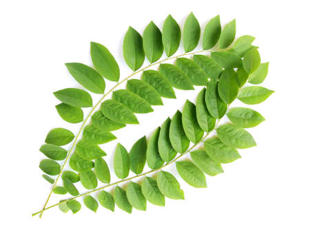 green leaf on white background Stock Photo - 9381717