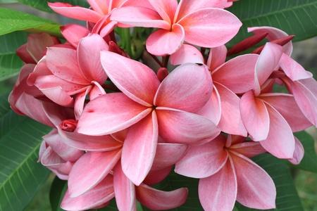 pink frangipanis flowers  Stock Photo