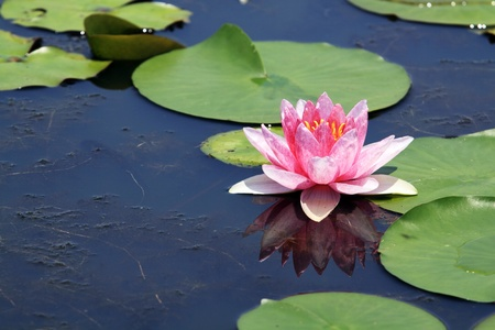 water lily: Pink Lotus (Water Lily) Stock Photo