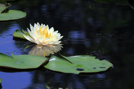 Beautiful Lotus (Water Lily)