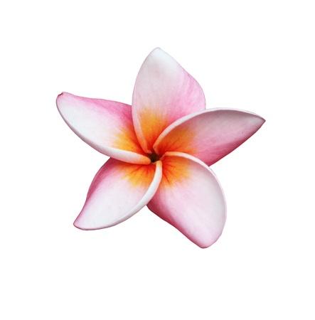 plumeria on a white background: Frangipani or Plumeria flower Stock Photo
