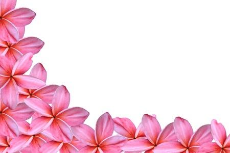 Frangipani or Plumeria flower photo