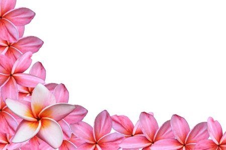 plumeria flower: Frangipani or Plumeria flower Stock Photo