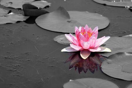 pink lotus (Water Lily) Stock Photo
