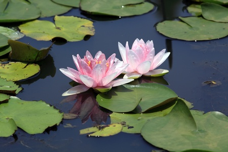 lily pad: pink lotus (Water Lily) Stock Photo