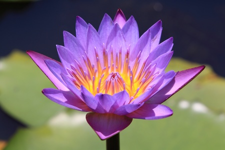 Beautiful Lotus (Water Lily) Stock Photo - 9592834