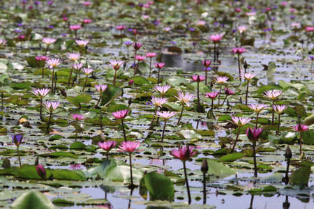 Beautiful Lotus (Water Lily) photo