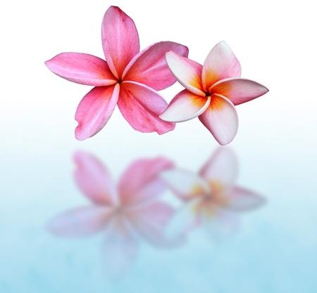 pink frangipani clock on white background photo