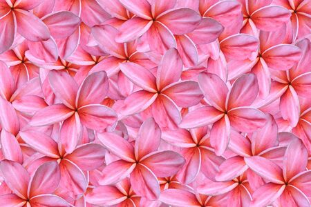 pink frangipanis flowers photo