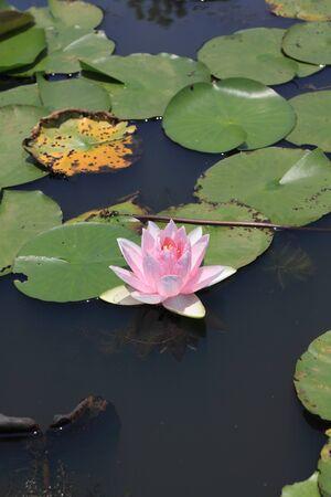 pink lotus (Water Lily) photo