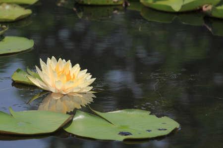 Beautiful Lotus (Water Lily) photo