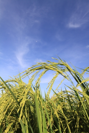 green rice field and blue sky Stock Photo - 9800469