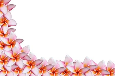 pink frangipani flowers on white background  Stock Photo