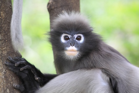 dusky: Dusky Leaf Monkey Stock Photo