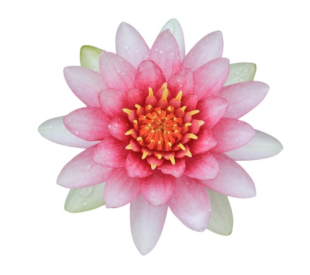 water lily: pink lotus (Water Lily) on white background
