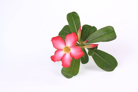 impala lily: Red desert rose or impala lily adenium flower Stock Photo