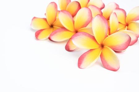 frangipani flowers on white background