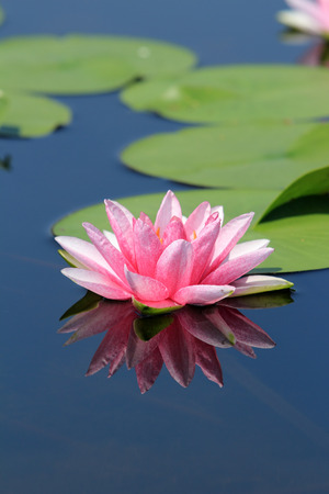 pink lotus flower reflection photo