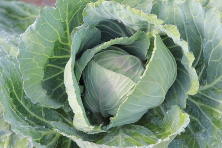 cabbage in the vegetable garden  photo