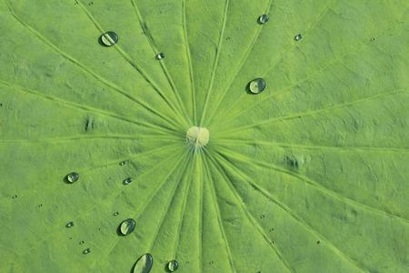 Water drop on lotus leaf Stock Photo - 50224740