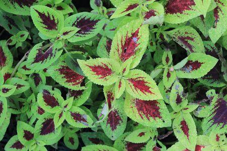 Solenostemon Plant background Stock Photo