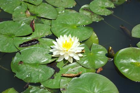 눈부신 수련 연못 중앙 스톡 콘텐츠