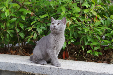 a British short haired cat looking up at the blue sky