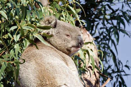 disdain: Disdainful koala