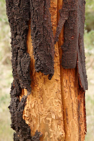 bark peeling from tree: Trunk of a dead wattle (acacia) tree showing the tracks of insects that lived under the bark