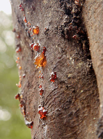 seeping: Gum seeping from the bark of a wattle tree Stock Photo